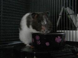 Swayli, rongeur Hamster