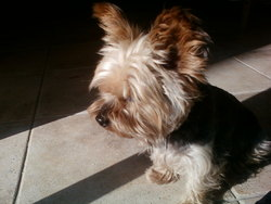 Sweet, chien Yorkshire Terrier