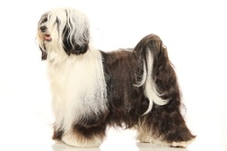 Sweet Caroline De Etxegorri, chien Terrier tibétain
