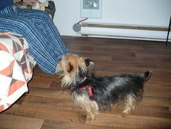 Sweetty, chien Yorkshire Terrier