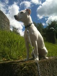 Sweety, chien Jack Russell Terrier