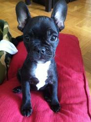 Sweety, chien Bouledogue français