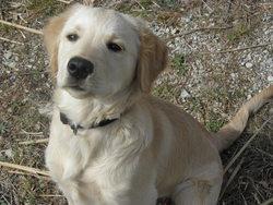 Sweety, chien Golden Retriever