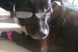 Sweety, chien Labrador Retriever