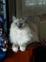 Sweety, chat Ragdoll