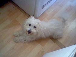 Swetie, chien Coton de Tuléar