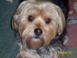 Swiffer, chien Yorkshire Terrier