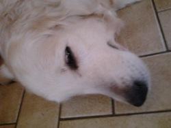 Switie, chien