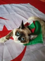 Syam, chat Siamois