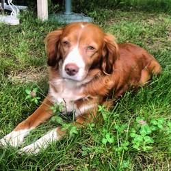 Sybelle, chien Épagneul français