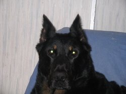 Sybelle, chien Beauceron