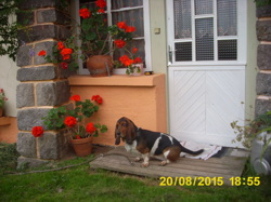 Sybille, chien Basset Hound