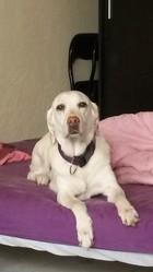 Sydney, chien Labrador Retriever