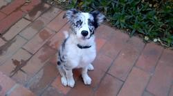 Sydney, chien Border Collie