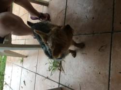 Sydney, chien Yorkshire Terrier