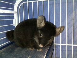 Sydney, rongeur Chinchilla