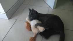 Sylver, chat Européen