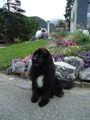 Sylver, chien Terre-Neuve