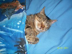 Sylvestre, chat Européen
