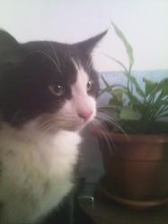 Sylvestre, chat