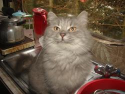 Sylvie, chat Européen