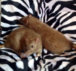 Symba, rongeur Rat