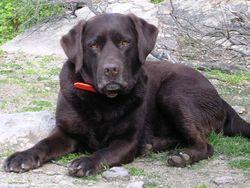 Sympha, chien Labrador Retriever