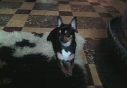 Syndi, chien Chihuahua