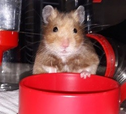 Synna, rongeur Hamster