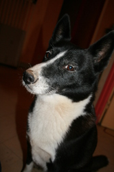 Sypsy, chien