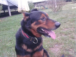 Syruce, chien Beauceron