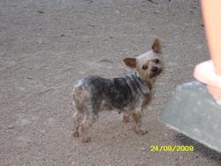Syskas, chien Yorkshire Terrier