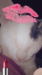 Sysko, chat Européen