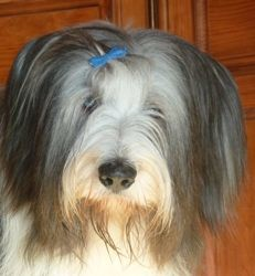 T'Aimi, chien Bearded Collie