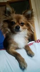 T-Bag, chien Chihuahua