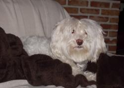 T'Choupi, chien Bichon maltais