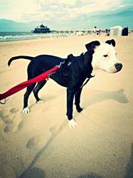 T Kila, chien