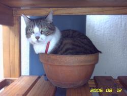Tabasco, chat Européen