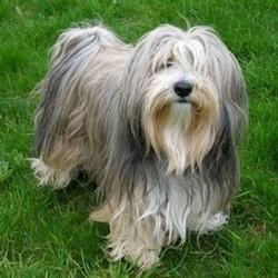 Taboo, chien Terrier tibétain