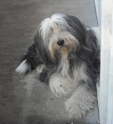 Taboo, chien Bearded Collie