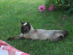 Tacata, chat Siamois