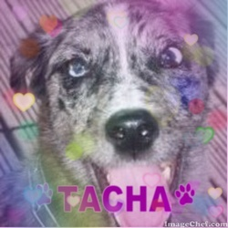 Tacha, chien Bearded Collie