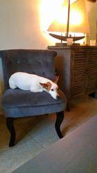 Tache, chien Jack Russell Terrier