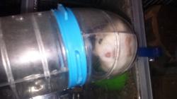Tâche, rongeur Hamster