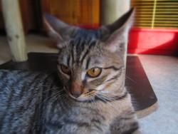 Tacheté, chat Gouttière