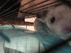 Tacos, rongeur Hamster