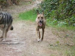 Tadeo, chien Podenco ibicenco