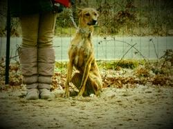 Tadeo, chien Lévrier espagnol