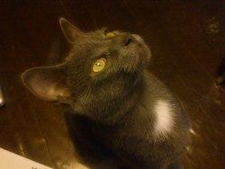 Tafelzout, chat Chartreux