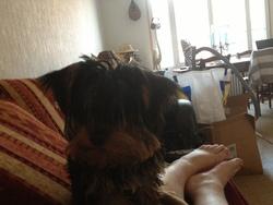 Tagada, chien Yorkshire Terrier